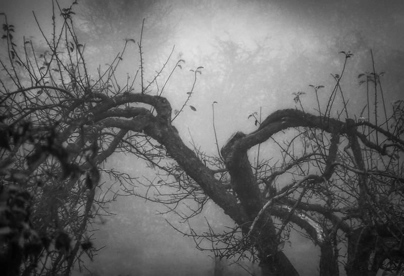 Apple Tree and Fog