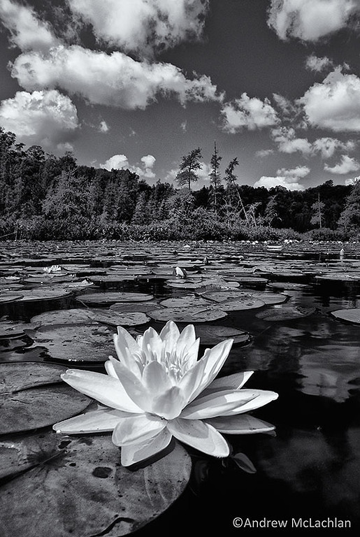 Water Lily in Wetland on Horseshoe Lake, Ontario.