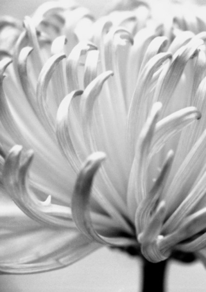 Chrysanthemum 4