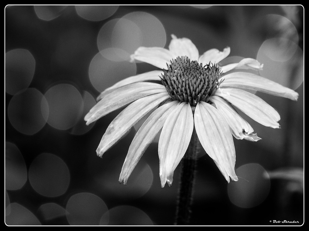 Purple Coneflower in B&W