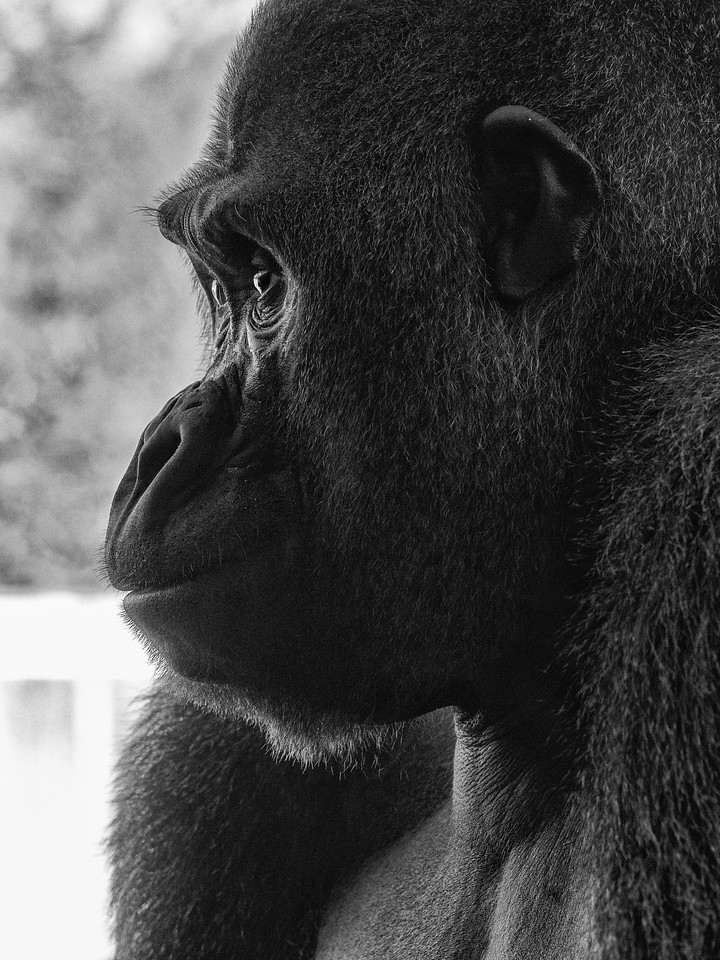 Silverback in Profile