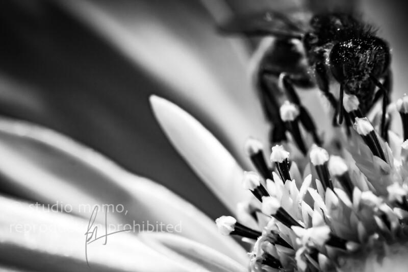 cosmos (Cosmos bipinnatus), honeybee (Apis mellifera), taken 9/28/2014, UBC Botanical Garden