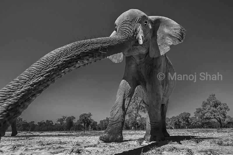 African Elephant walking to the marsh inmasai Mara with the trunk in smeeling mode. <br /> This is what future generations would say. An elephant will be just a memory, no more a reality. A dream where they will walk on Earth at peace, as they were born to do; kept alive only in our minds. In April 2016 105 tons of Ivory was burnt in Nairobi. It pained me to see how many elephants were brutally killed. It became a part of my life's work to capture on camera the remaining few living. This picture captures two things (depending on how you look at it): 1. They are walking out from heaven to earth and 2. The elephants slowly fading to nothing but memory. Their fragility is in our hands. This image gives a dramatic feel to many juxtapositions- power & frailty, gentility & giant.