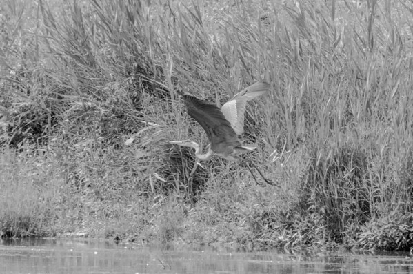 Heron taking flight in black and white...