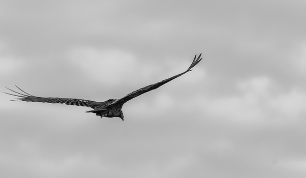 Turkey Vulture in flight in black and white