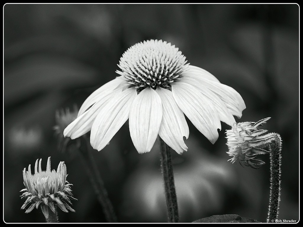 Eastern Purple Coneflower in B&W Infrared