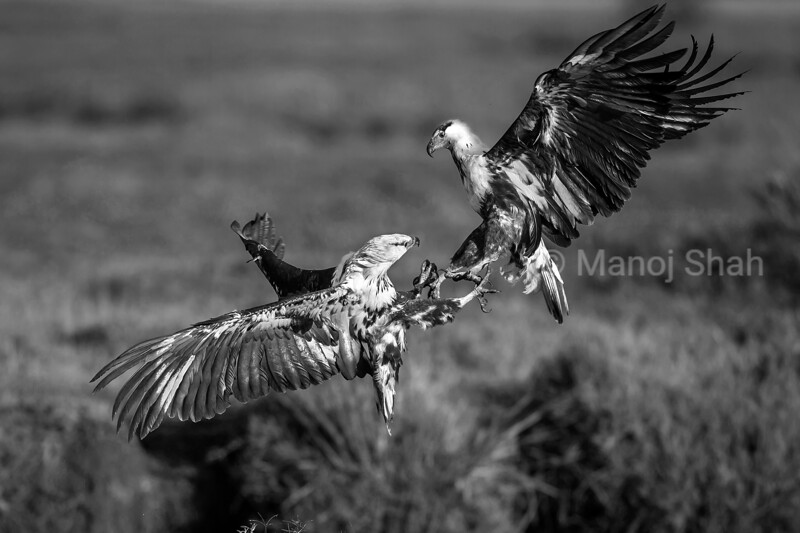 Two African Fish Eagles were fighting over a pool in the Mara River infested with catfish. It was a fight for supremacy where the winner has open access to hunt. The river had dried up due to lack of rains with all the catfish now living huddled in the pool. The skirmish of the eagles lasted for a few seconds and the looser flew away. Nature is tough.