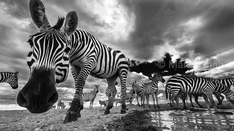 Zebra herd at a waterhole in Laikipia.