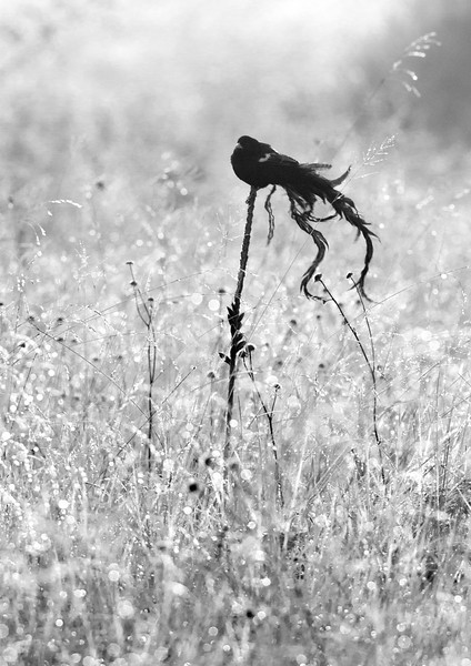 A Long-tailed Widowbird shakes out its tail. Malolotja Preserve, Swaziland. January, 2012.