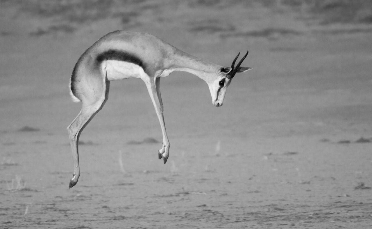 "A springbok ""pronks"" in the Kalahari Desert, in northwestern South Africa. December, 2011."