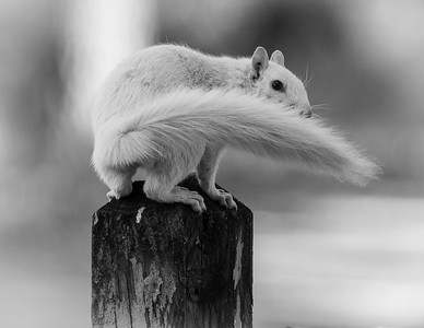 white squirrel 6 (1 of 1)