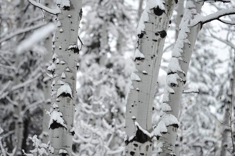 Snowy Aspen Trees, Grand Teton National Park, Wyoming