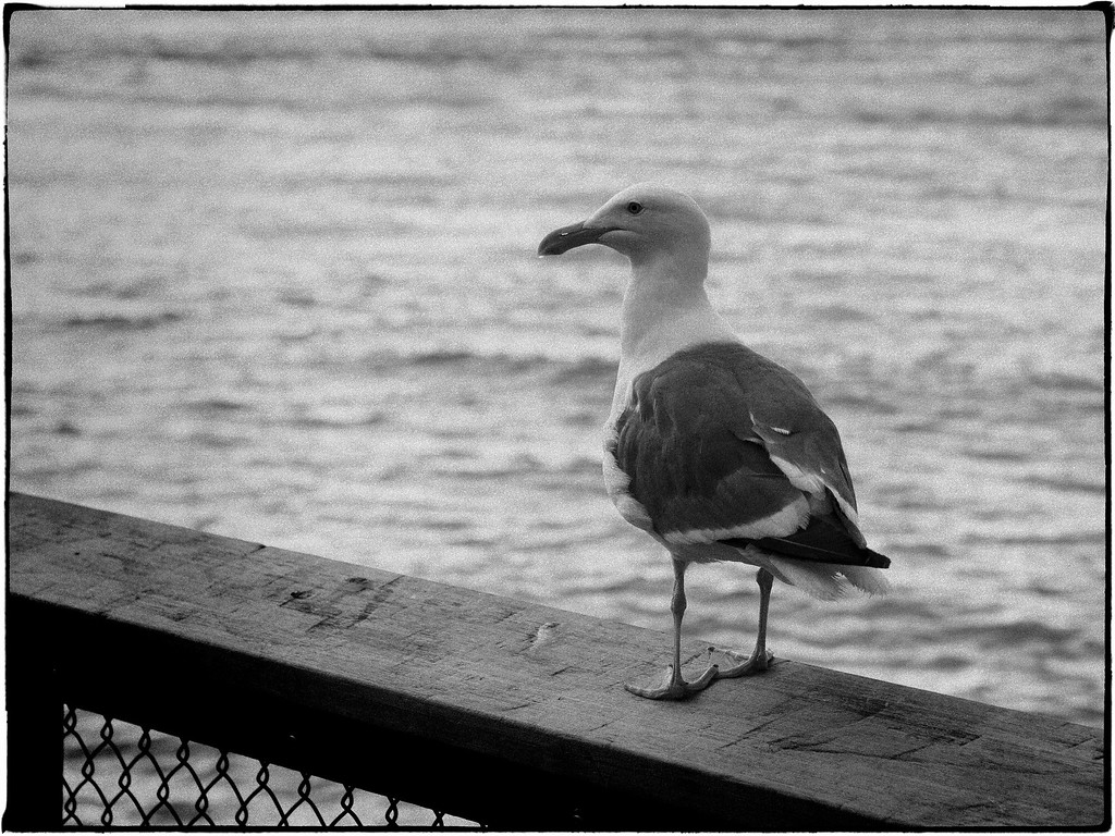 Gull on Railing