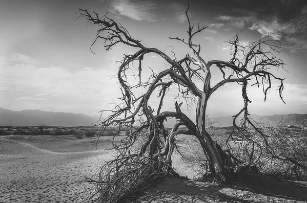 Mesquite Dunes Tree