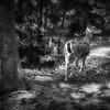 Doe In Woods