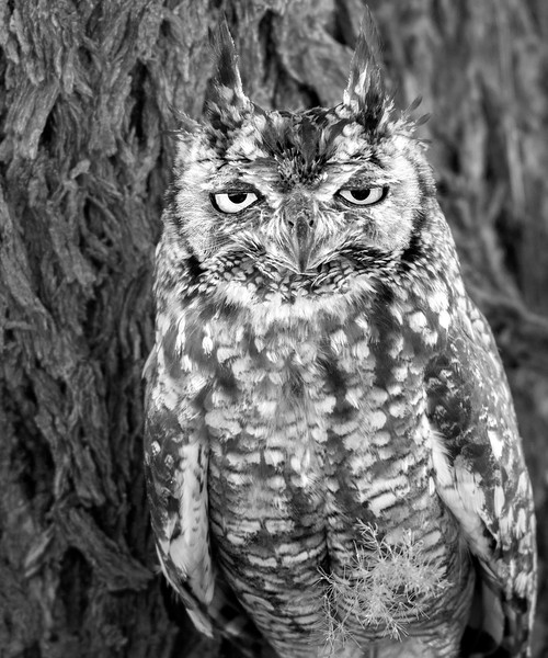 An African Eagle Owl seeks shade from the unrelenting heat of the Kalahari Desert. South Africa. December, 2011.