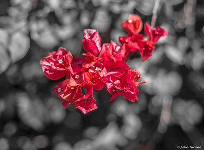 Red Bougainvillia