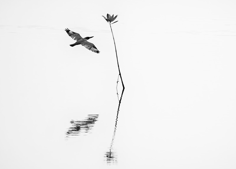 Belted kingfisher in flight with reflection at Ten Thousand Islands National Wildlife Refuge, Naples, Florida