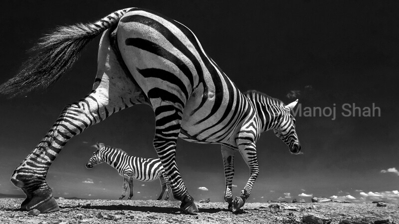 The dry spells in Laikipiia shifts the animals priority - which is water. This zebra went past the camera unnoticed as his focus was to find water.