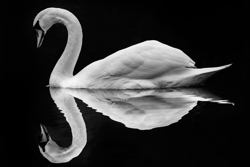 """Elegance"" One of my favourite photo's, taken at Dunsmere near Delamere forest, this beautiful Swan just sat there perfectly still and let me take a shot."