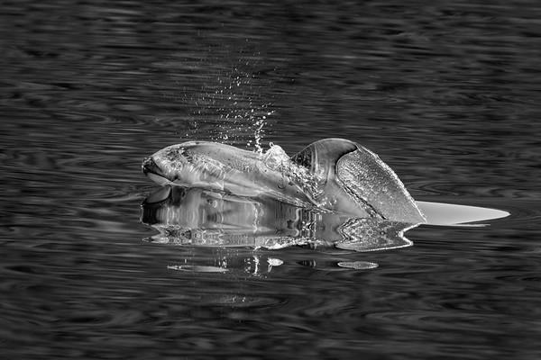 First Dolphin Breach
