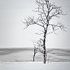 Tree near Tromso, Norway