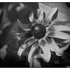 Blackeyed Susan in Black & White