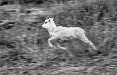 A Dall Sheep flees a Grizzly Bear on the flanks of Sheep Mountain, Yukon. May, 2012.