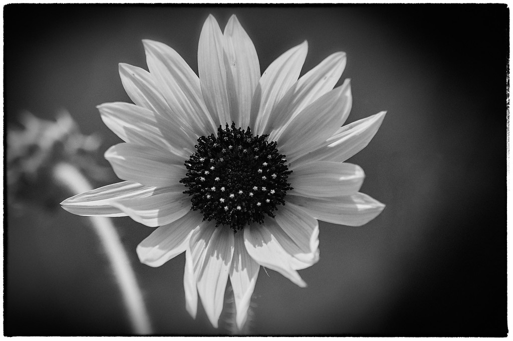 Sunflower in Infrared