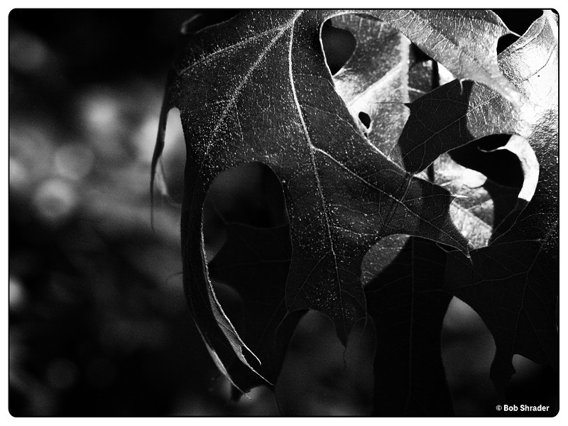 Oak Leaves in Black and White