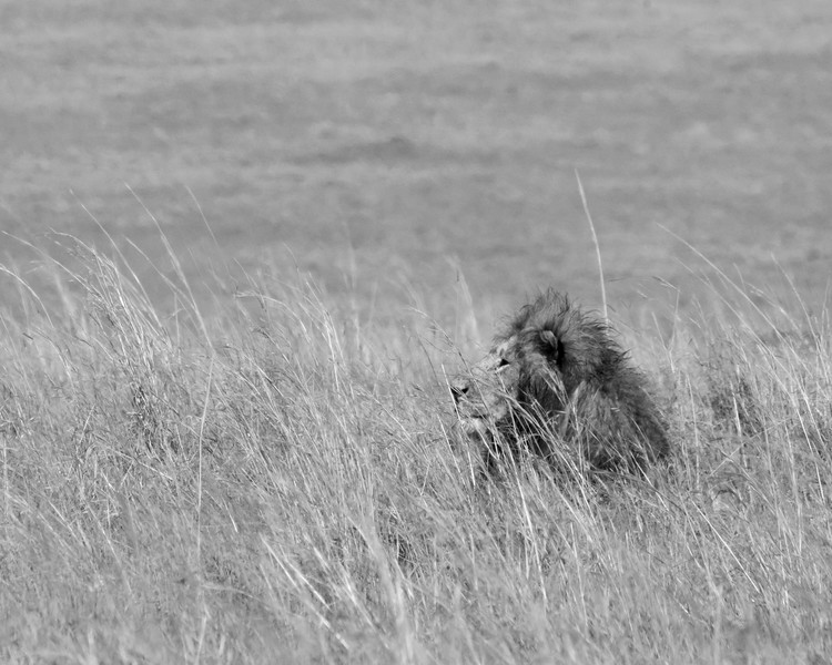 Lion King on the Masai Mara