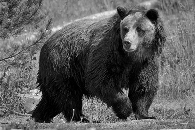 Yellowstone Grizzly Bear