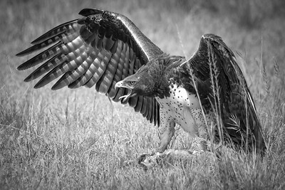 Martial Eagle Africa