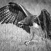 Martial Eagle Africa