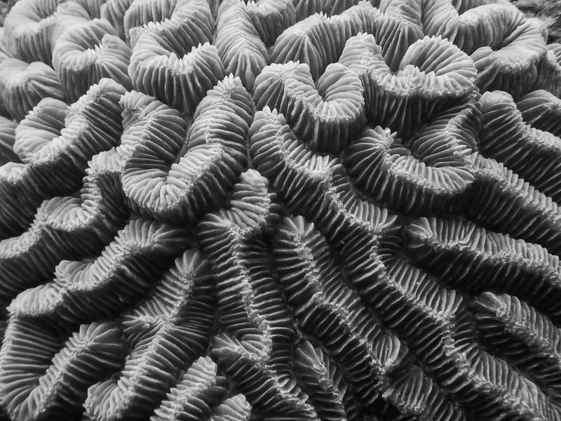 Brain Coral Details
