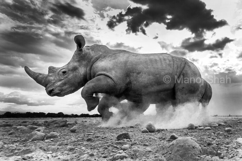 I was casually following these two young white rhinos when suddenly they did a massive U-turn and fled from the area within a blink of an eye, in Laikipia, Kenya.  I have heard rumors about their speed but have never witnessed it before. It sounded like a growling.<br /> What happened was they ventured into another male's territory. When they were spotted they made a dash for it. Even though they were two, they were no match for the bigger male.<br /> Seeing this photo – the sky, the dust, I can still feel the growling of the earth. <br />  To see a 5,000 animal make a fast u turn with an equally heavy companion is something very unique. We should not assume that these heavy animals can not move quickly. I was watching with my mouth open!