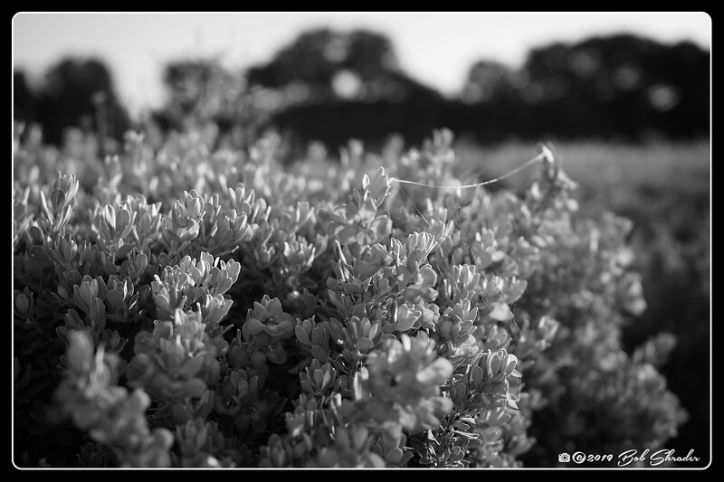 Texas Sage in Black and White