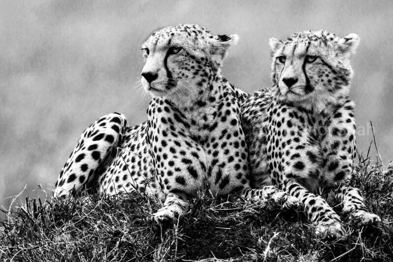 Cheetahs scanning for prey
