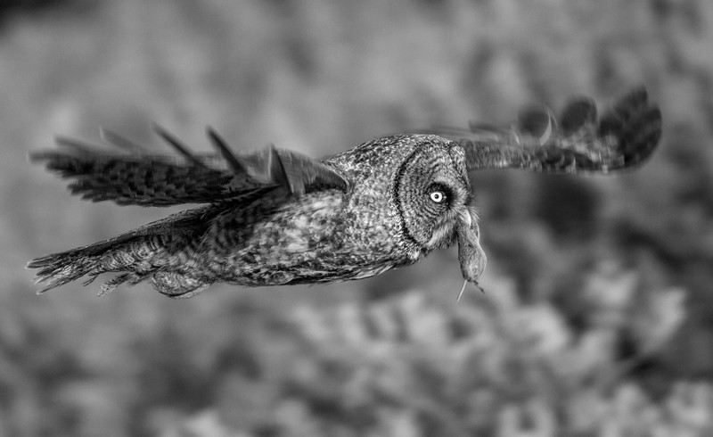 A Great Grey Owl flies towards the forest with a vole it has just caught. Kluane, Yukon. August, 2013.