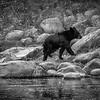 Black Bear in Black and White
