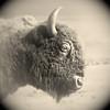 Big Wooly
