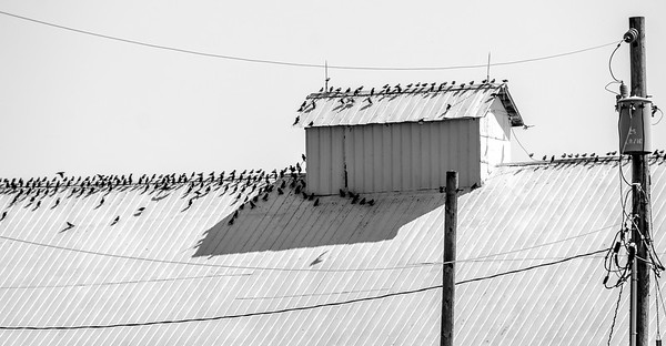 Birds on a barn (black and white)