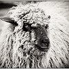 A Bit Sheepish