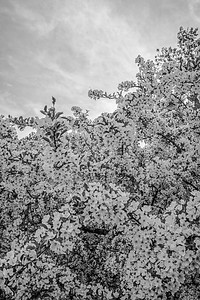 All the Blossoms B&W