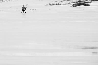 Barren Ground caribou near the Dempster Highway in Yukon, Canada.