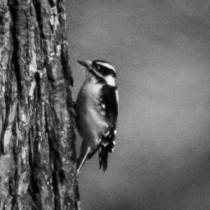Woodpecker BW