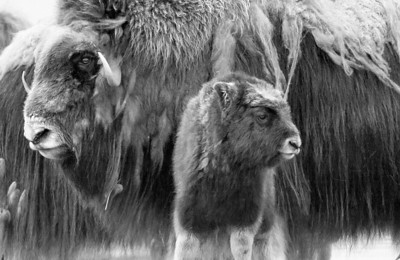 A mother and calf muskox along the coastline of Alaska's Arctic National Wildlife Refuge. July, 2010.
