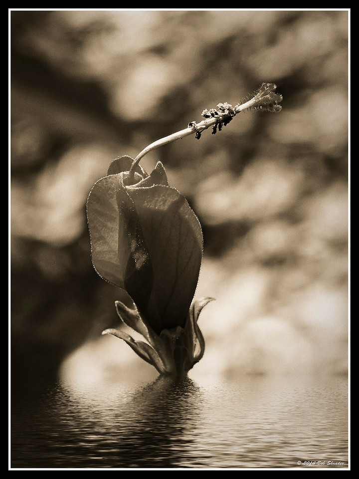Flower in Water B&W