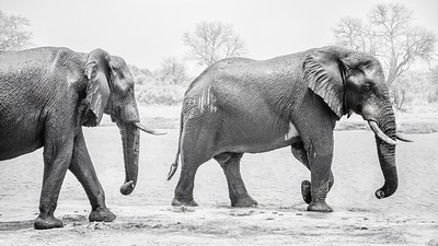 Two big male elephants, wet and muddy, walk along a riverbank.