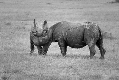 Dualing Black Rhino